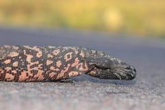 Monstre de Gila timide Image stock