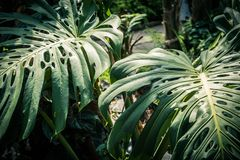 Monstrea plant and fern leaves. Beautiful green tropical leaves Monstera in the greenhouse, close up Stock Image