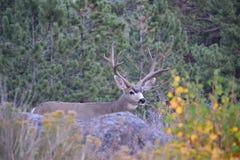 Monstro Muley foto de stock royalty free