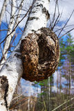 Monstrous excrescence on the white birch trunk Royalty Free Stock Photography