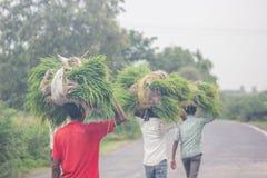 Monsun-Paddyarbeitskräfte stockfoto