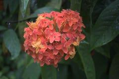 Monsunblomma Royaltyfri Foto