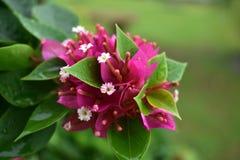 Monsunrosa färgblomma Royaltyfri Fotografi
