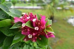 Monsunrosa färgblomma Arkivfoto
