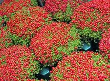 Montão alaranjado com folhas verdes, natureza da baga, Imagens de Stock Royalty Free