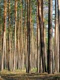 Montão alto do pinheiro na floresta, diversidade da natureza do verão imagens de stock royalty free