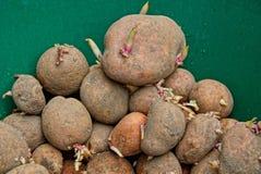 Montão de batatas sujas cruas marrons foto de stock