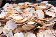 Montão de shell da vieira Foto de Stock