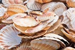 Montão de shell da vieira Fotos de Stock