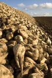 Montão do sugarbeet Imagem de Stock