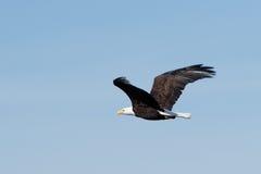 Montée d'aigle chauve Photos libres de droits