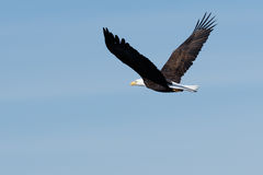 Montée d'aigle chauve Images libres de droits
