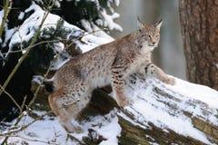 Montée de Lynx sur le bois Photos libres de droits