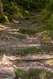 Montée des escaliers des racines dans la forêt conifére photos libres de droits