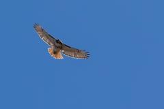 Montée rouge de faucon de queue Image stock