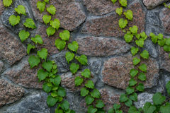 Montées vertes de lierre sur le fond de mur de brique Images stock