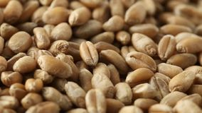 Montón de los granos del trigo que giran cerca encima de la visión metrajes