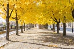 Mont dorato cambiante di caduta di autunno di giallo della città degli alberi di colori del viale fotografie stock libere da diritti