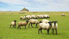 Mont Saint Michel. A flock of sheep on the background Mont Saint Michel abbey stock photos