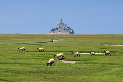 Mont Saint Michel Abbey and sheeps in Normandy Stock Photo