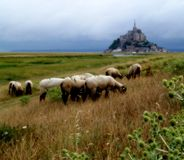 Mont Saint Michel Bay. Sheeps in the Mont Saint Michel Bay (France Royalty Free Stock Images
