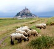 Mont Saint Michel Bay. Sheeps in the Mont Saint Michel Bay (France Stock Photo