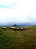 Mont Saint Michel Bay. Sheeps in the Mont Saint Michel Bay (France Stock Photos