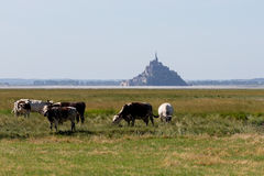 Mont saint michel with cows Royalty Free Stock Image