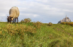 Mont Saint Michel et moutons, Normandie, France photo libre de droits