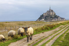 Mont Saint Michel och Sheeps, Normandie, Frankrike Arkivfoto
