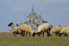 Mont Saint Michel and sheep. Sheep eating grass and Mont Saint Michel on the background royalty free stock image