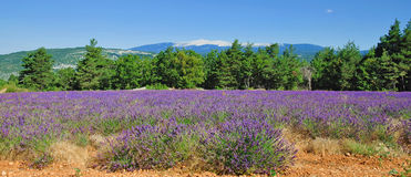 Mont Ventoux,Provence,France. Lavender field in provence and mont ventoux in the background,south of france Stock Photos