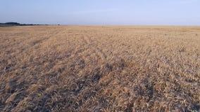 Montaña aérea de Photography Un vuelo bajo sobre un campo del trigo maduro Cielo azul, brillante Puesta del sol almacen de metraje de vídeo