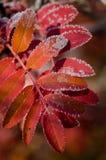 Montaña Ash Red Imagen de archivo