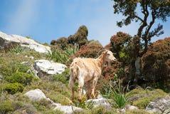 Montaña-cabra Foto de archivo libre de regalías