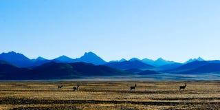 Montaña coronada de nieve, antelop tibetano y meseta Fotografía de archivo