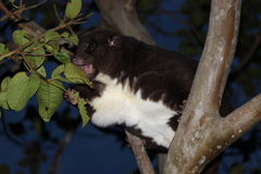 Montaña Cuscus que come las hojas Imágenes de archivo libres de regalías