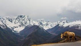 Montaña de la nieve de Baima con un yac Imagen de archivo libre de regalías