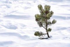 Montaña de la nieve de la naturaleza poco árbol de abeto solo Fotos de archivo libres de regalías
