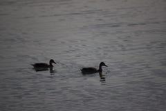Montaña del lago ducks imagen de archivo libre de regalías