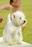 Montaña del oeste blanca Terrier en el entrenamiento de la escuela del perrito Imágenes de archivo libres de regalías