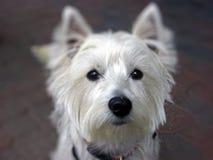 Montaña del oeste linda Terrier que mira la cámara Foto de archivo