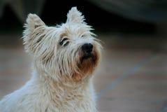 Montaña del oeste Terrier Fotos de archivo