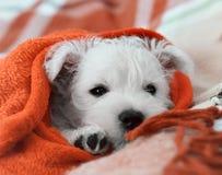 Montaña del oeste Terrier blanco del perrito que lleva una tela escocesa Fotos de archivo