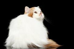 Montaña escocesa enojada Cat Looking recta para arriba, fondo negro aislado Fotografía de archivo