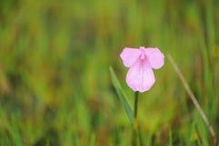 Montaña frágil de la flor Imagen de archivo libre de regalías