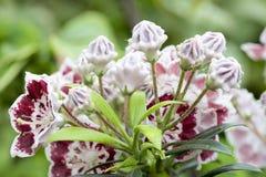 Montaña Laurel Flowers Minuet Closeup Imagen de archivo
