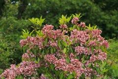 Montaña Laurel Shrub en la floración Fotos de archivo libres de regalías