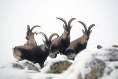 Montaña masculina Gredos en invierno Imagen de archivo