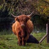 Montaña melenuda Bull Foto de archivo
